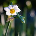 Photos: 水仙 咲き始めました