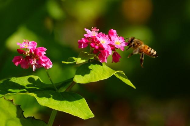紅蕎麦にミツバチ