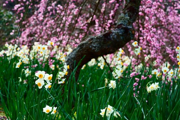 枝垂れ梅と水仙