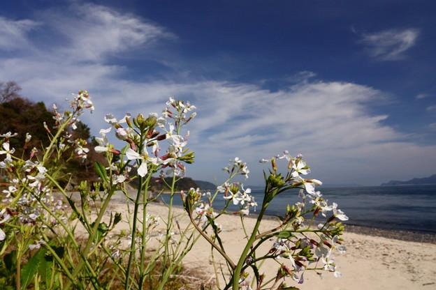 浜のハマダイコン