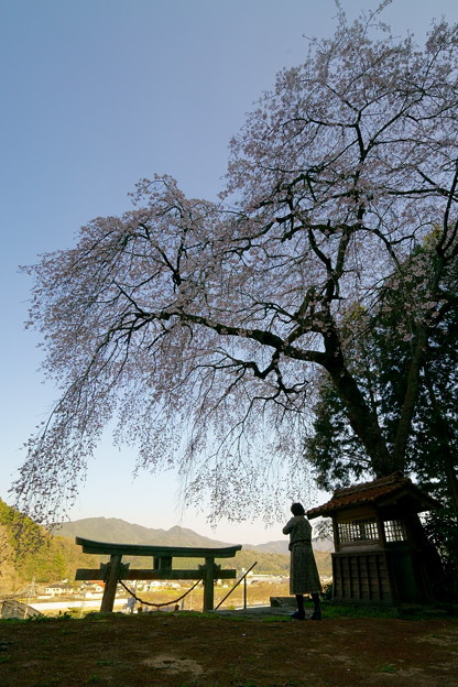 荒玉社の枝垂桜