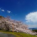 Photos: 大崎の大櫻