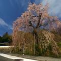 Photos: 弾正糸桜