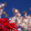 紅葉・桜花
