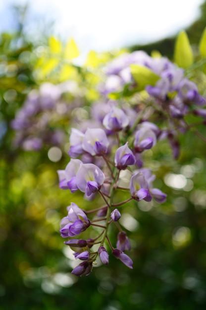 薄紫の滴り