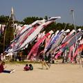 Photos: 虹ケ浜の鯉のぼり