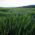 Photos: 未だ青い麦畑