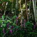 竹藪のヤブラン