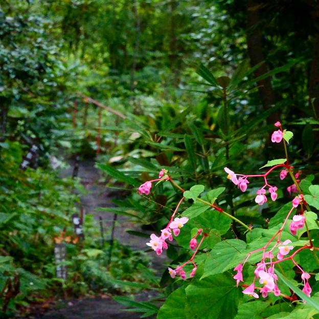 シュウカイドウの咲く径