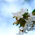 Photos: 生垣の花
