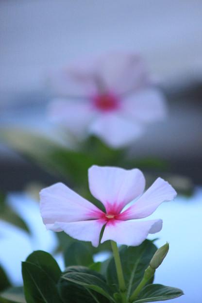 自宅ベランダの花