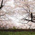 Photos: 京都 蹴上の桜