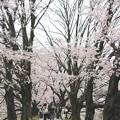 Photos: 背割堤の桜