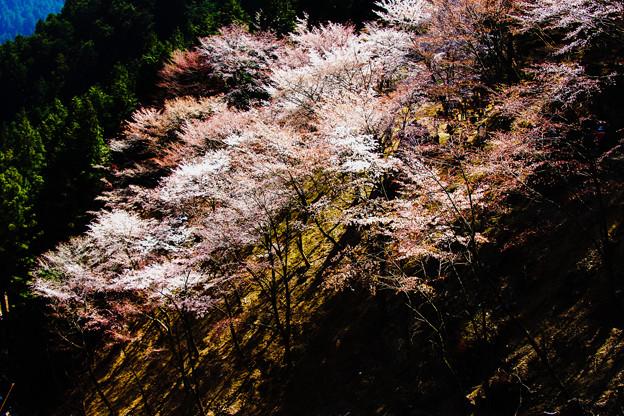 吉野の桜(1)