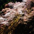 Photos: 吉野の桜(1)