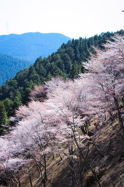 吉野の桜(2)