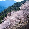 Photos: 吉野の桜(2)