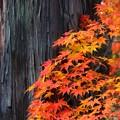 Photos: モミジと杉