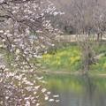 Photos: 背割堤から見る川