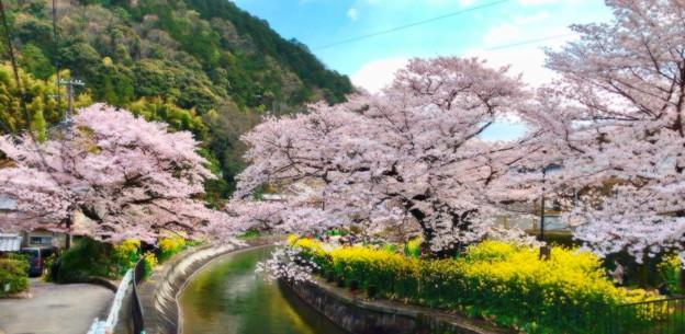 絵画風桜景色