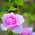 Photos: 中之島公園のバラ