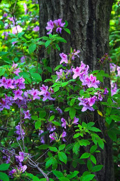 野に咲くツツジ