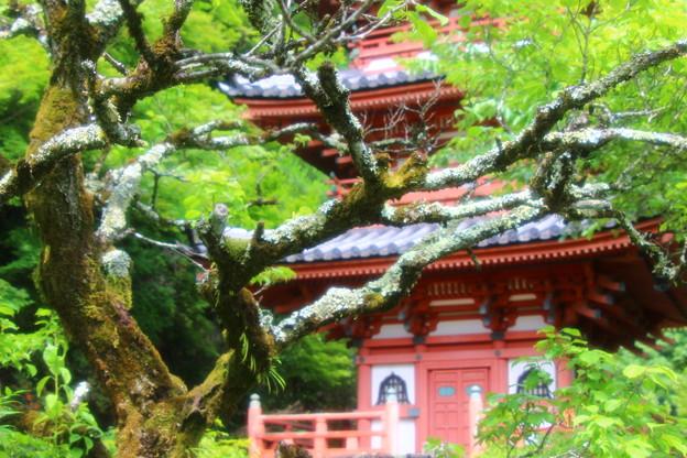 三室戸寺の古木