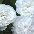 Photos: 白薔薇