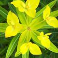 ハクサンタイゲキの花