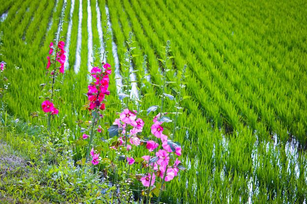 田んぼに花
