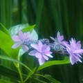 Photos: 淑やかに咲く