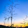 淀川で生きる雑草