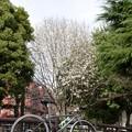 写真: DSC_7480 こぶしの花を背景に