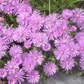 Photos: DSC_1049 花の名前 不明...。