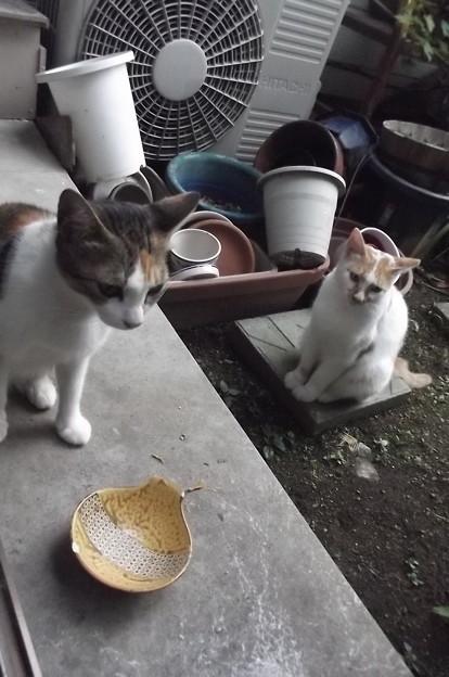 ミケママ&茶ブチ0822