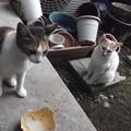 写真: ミケママ&茶ブチ0822