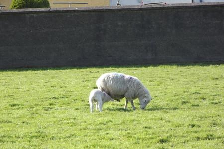 ディングルの羊0502