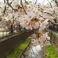 Photos: 神奈川県川崎市麻生区、麻生川の桜 山口橋