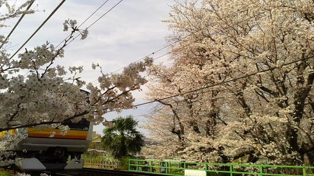 神奈川県川崎市多摩区、二ケ領用水の桜と南武線3