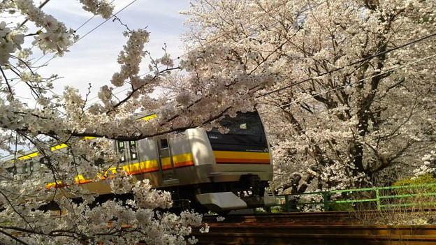 神奈川県川崎市多摩区、二ケ領用水の桜と南武線4