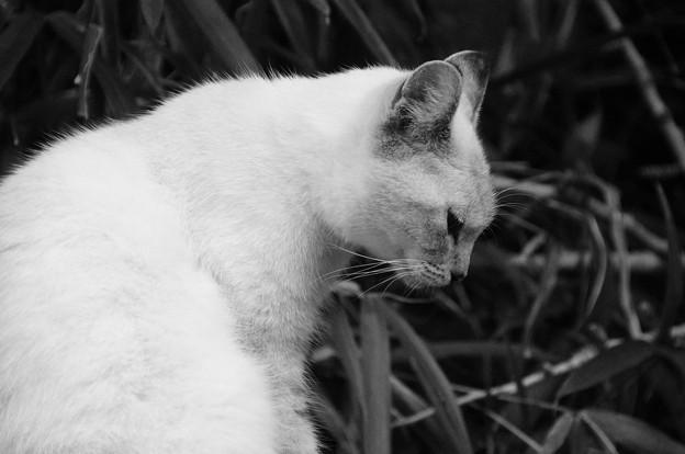白猫の憂鬱