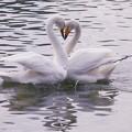 白鳥ハート (412)