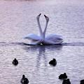 白鳥ハート (413)