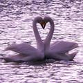 白鳥ハート (429)