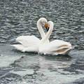 白鳥ハート (430)