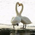 白鳥ハート (431)