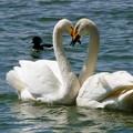 白鳥ハート (435)