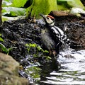 アカゲラ幼鳥 (4)