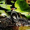 アカゲラ幼鳥 (10)