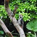 アカゲラ幼鳥 (1)